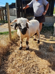 Valais Blacknose New Zealand The Cutest Sheep In The World